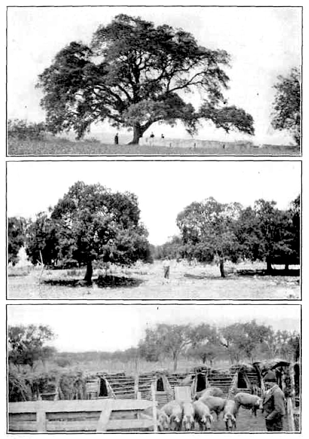 "Iberian pork raising, form J. Russel Smith's ""Tree Crops"""