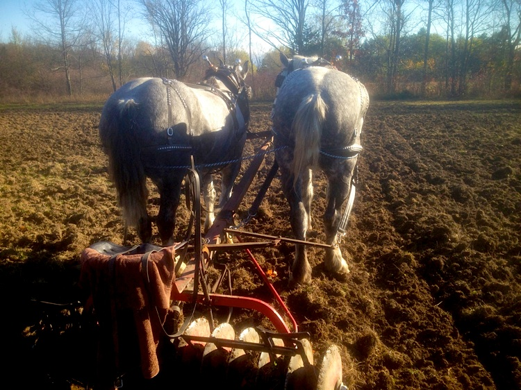 Discing in the Fall - Another shot of horses' rears...