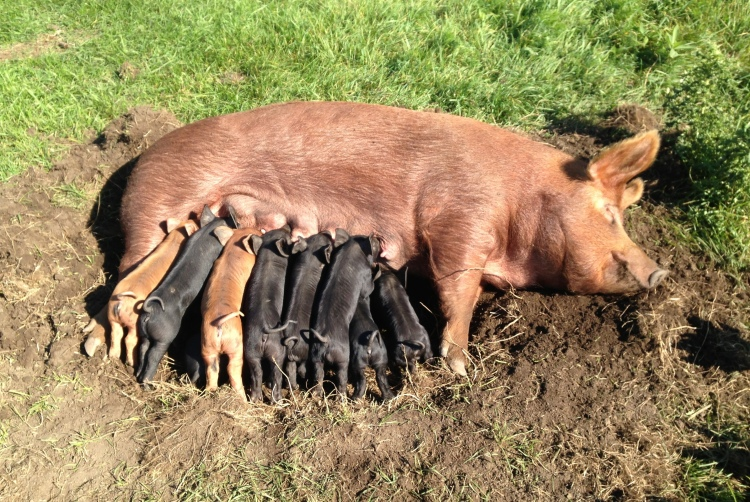 One of our Tamworth sows, Biggie, nursing her litter of 11 out on pasture.