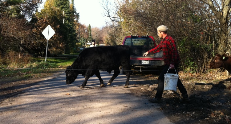 Moving cattle across public roads with a pail of beer grains... Fun!