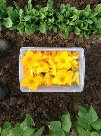 Squash blossoms for Aquaterra