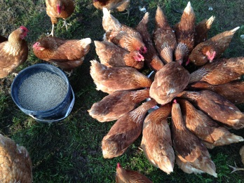 Chickens prefer brewer's grain to bagged feed