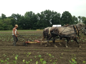 Scuffling late crops
