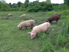 Swine a' grazing