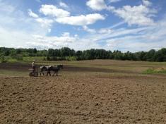 Harrowing in cover crop