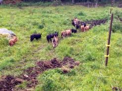 Piglet posse
