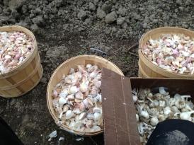 Garlic '14
