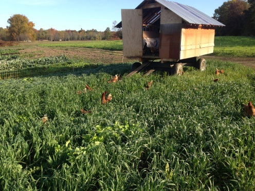 Hens on cover crop