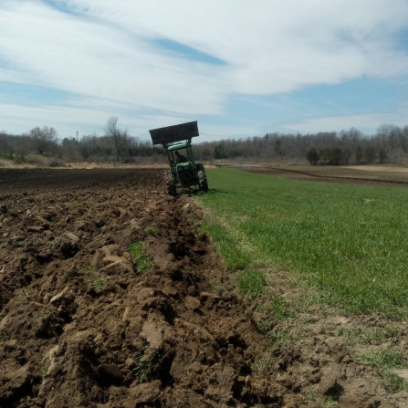 Ploughing down winter rye for tomatoes