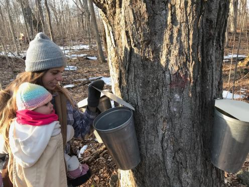 Tapping our first trees