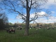 Happy cows under a big old shagbark