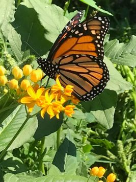 Happy Monarch