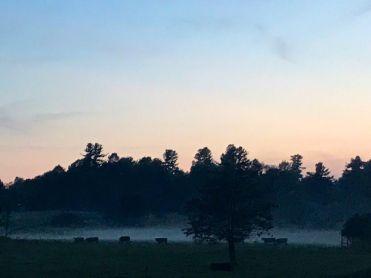 Steers at dusk