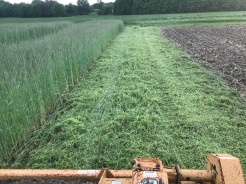 Mulching rye to build soil